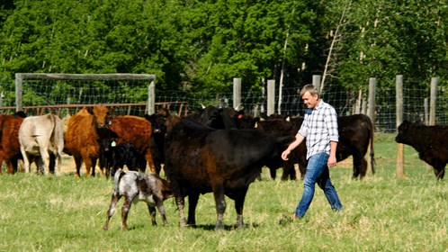 Dr. Tyler May of Manning, AB walks among some of his herd of 200 cows.
